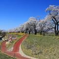 Photos: 遊歩百選の桜道