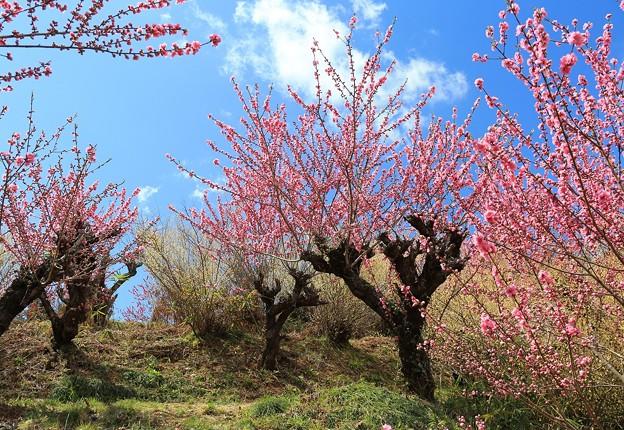 Photos: 花桃咲く里