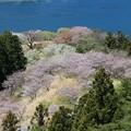 Photos: 離島に咲く桜