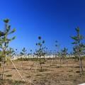 植樹された防風林