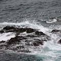 Photos: 荒れる海のカモメ