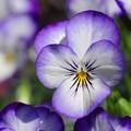 Photos: 長く咲いてるビオラ