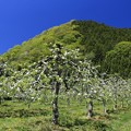 Photos: リンゴの花咲く頃