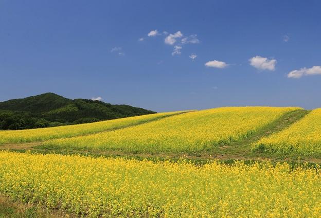 Photos: 丘の菜の花畑