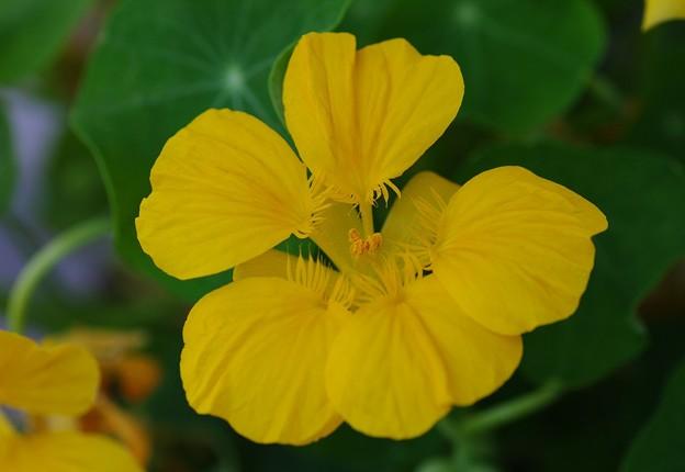 Photos: 庭に咲くキンレンカ