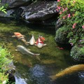 Photos: 錦鯉の日常