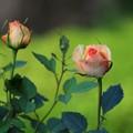 魅惑な薔薇