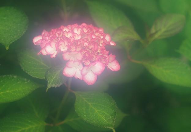 紫陽花への想い