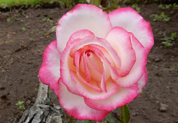 Photos: 野に咲く薔薇