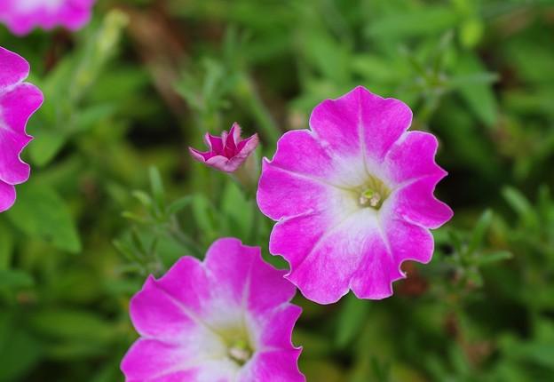 庭に咲くサフィニア