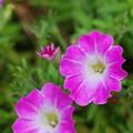 Photos: 庭に咲くサフィニア