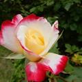 Photos: バラの香り
