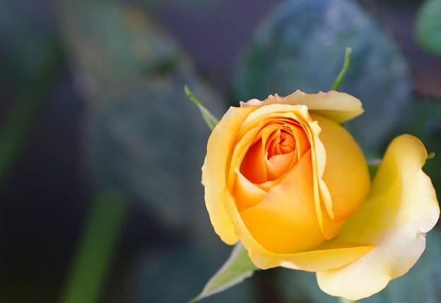 庭に咲いた薔薇