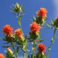 Photos: 紅 花