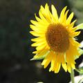 Photos: 猛暑に咲く