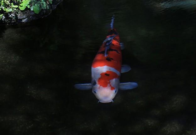 清水泳ぐ錦鯉
