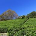 Photos: 茶 畑