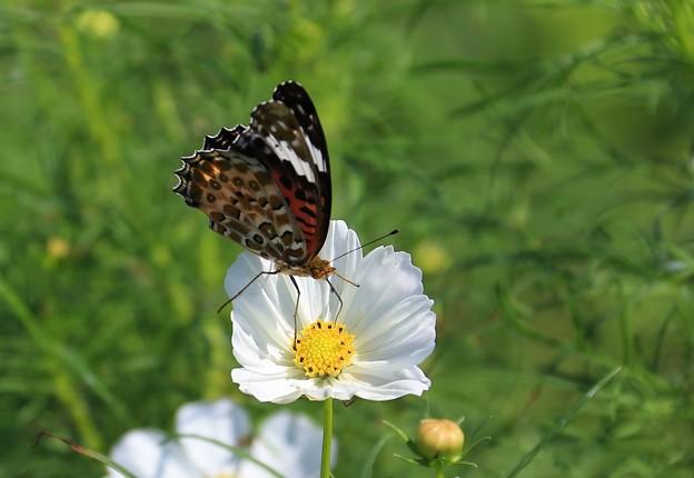 吉野ヶ里を舞う蝶