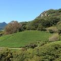 武雄の茶畑