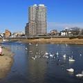 Photos: 広瀬川に集う野鳥