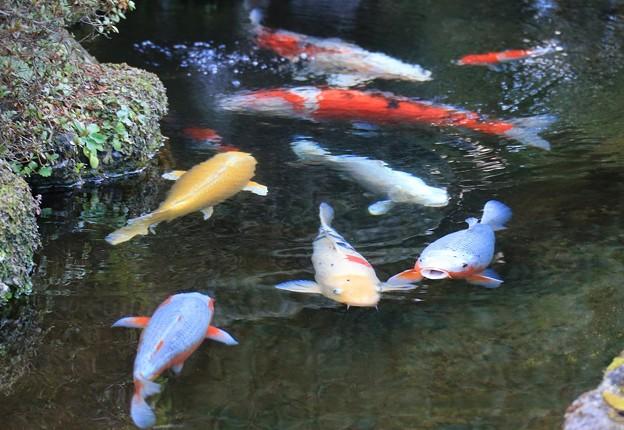Photos: 鯉物語