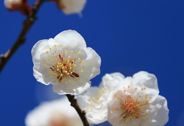 白梅の美しさ