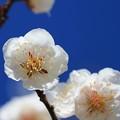 Photos: 白梅の美しさ