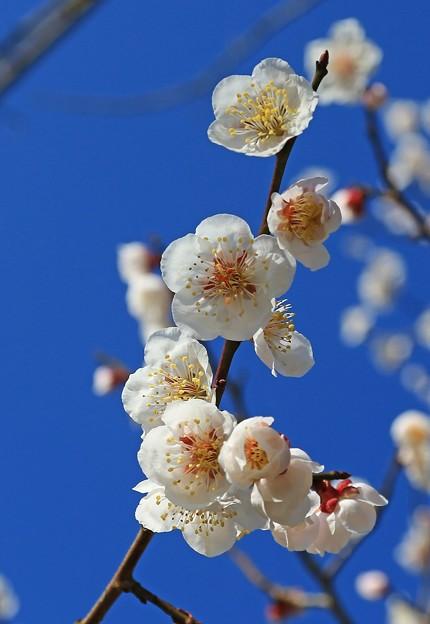 丘に咲く白梅