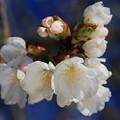Photos: 桜の美々しさ