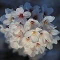 Photos: 桜の詩
