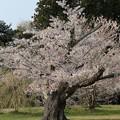 Photos: 老木の桜