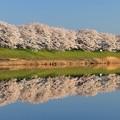 Photos: 白石川堤の桜