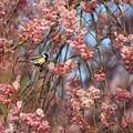 Photos: 桜は野鳥の楽園