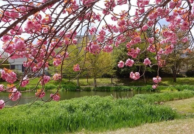 八重桜咲く天沼公園
