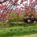 Photos: 八重桜咲く天沼公園