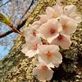 Photos: 幹 桜