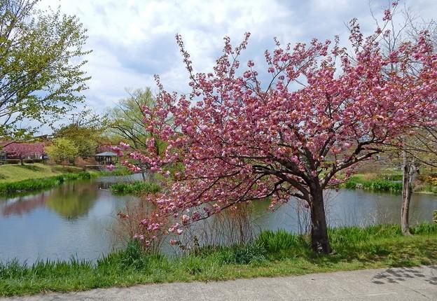 天沼に咲く八重桜