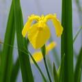 沼の畔に咲く菖蒲