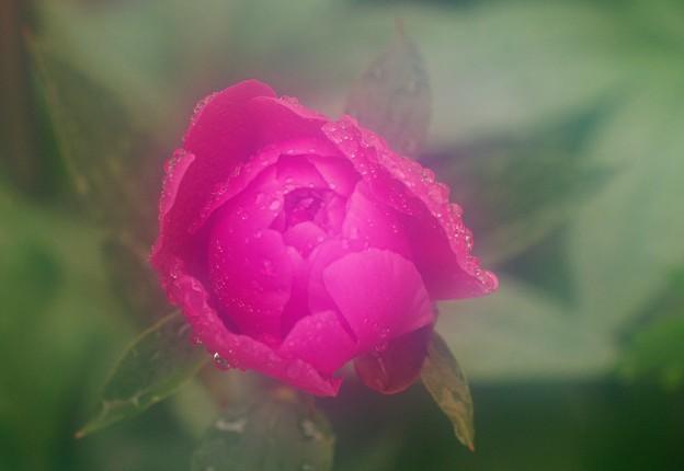 雨の中の芍薬蕾