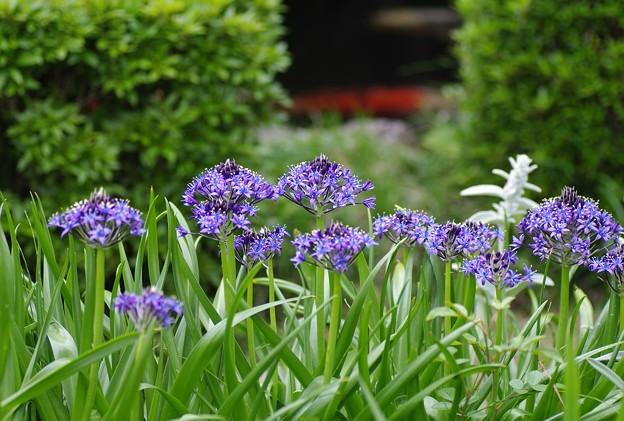 庭池に咲くシラー