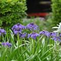 Photos: 庭池に咲くシラー