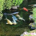 清水を泳ぐ錦鯉