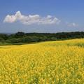 高原の菜の花畑