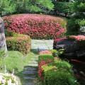 Photos: 咲き誇るサツキ