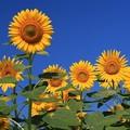 向日葵がいっぱい