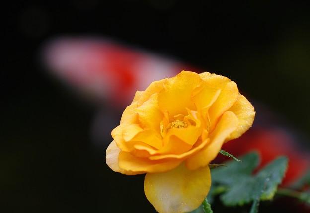 池に咲く薔薇