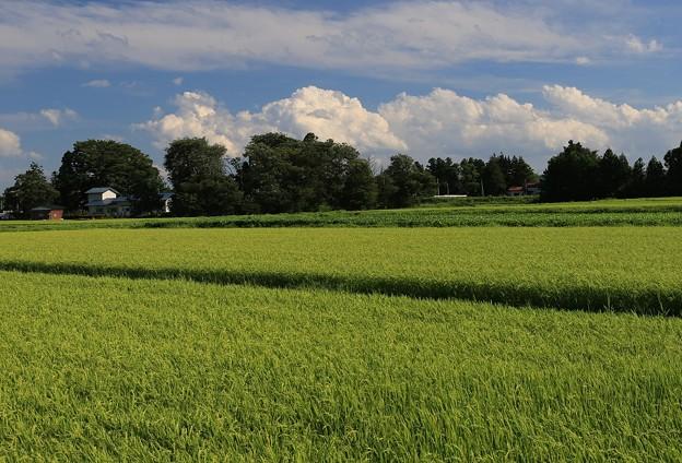 故郷の田圃