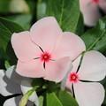 Photos: 可愛い花