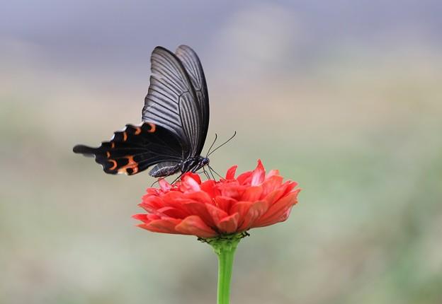 Photos: クロアゲハ蝶