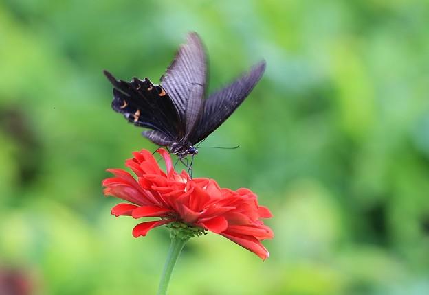 Photos: アゲハ蝶と百日草